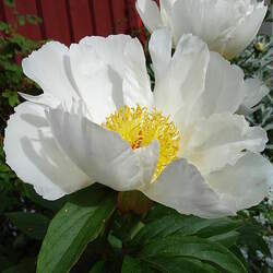 Paeonia lactiflora Chinese Peony seed for sale