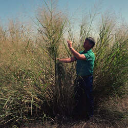 Panicum virgatum   Alamo Switch Grass, Switchgrass seed for sale