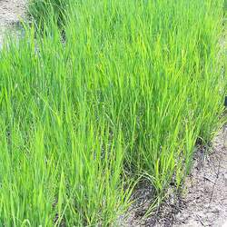 Panicum virgatum   Sunburst Switchgrass, Switch Grass, Sunburst Switchgrass seed for sale