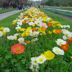 Papaver nudicaule Iceland Poppy, Icelandic Poppy seed for sale