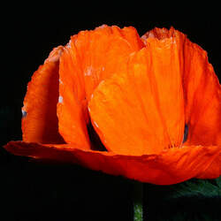 Papaver orientale   Prince Of Orange Prince Of Orange Oriental Poppy seed for sale