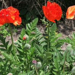 Papaver orientale Oriental Poppy seed for sale