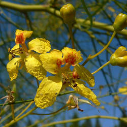 Parkinsonia aculeata Jerusalem Thorn, Mexican Palo Verde, Jellybean Tree, Parkinsonia, Palo Verde seed for sale
