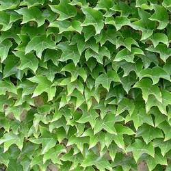 Parthenocissus tricuspidata   Veitchii Japanese Ivy, Boston Ivy seed for sale