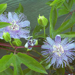 Passiflora incarnata Purple Passionflower, Maypop, Wild Passion Flower, Wild Apricot, Wild Passion Vine, True Passionflower seed for sale