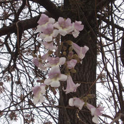 Paulownia fortunei Dragon Tree, Fortunes Empress Tree, Sapphire Tree, Phoenix Tree seed for sale