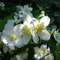 Philadelphus lewisii Western Syringa, Lewis' Mock Orange seed for sale