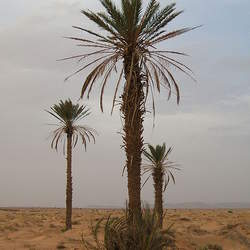 Phoenix dactylifera Date Palm seed for sale
