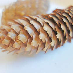Picea abies     Cones Norway Spruce Cones, Norway Spruce Pine Cones seed for sale