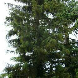 Picea breweriana Brewer Spruce, Brewer's Spruce, Weeping Spruce seed for sale
