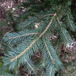 Picea chihuahuana Chihuahua Spruce, Cahuite seed for sale