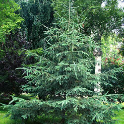 Picea glauca    Lake States White Spruce seed for sale