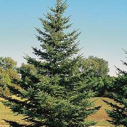 Picea glauca White Spruce seed for sale