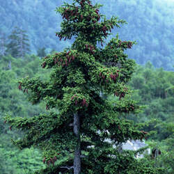 Picea jezoensis Yeddo Spruce seed for sale