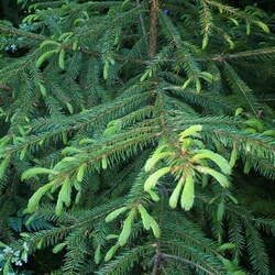 Picea koraiensis Korean Spruce seed for sale
