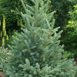 Picea meyeri Meyer's Spruce seed for sale