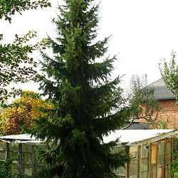Picea omorika Serbian Spruce seed for sale