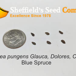 Picea pungens  glauca  CO, Dolores Blue Spruce seed for sale