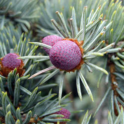 Picea pungens  glauca  CO, Valecito Blue Spruce seed for sale