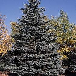 Picea pungens  glauca Majestic Majestic Blue Spruce seed for sale