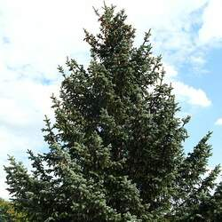 Picea pungens  glauca  NM Carson Blue Spruce, Colorado Blue Spruce seed for sale