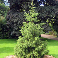 Picea smithiana Himalayan Spruce, Morinda Spruce seed for sale