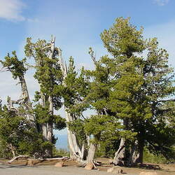 Pinus albicaulis Whitebark Pine seed for sale