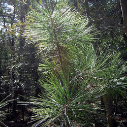 Pinus arizonica Arizona Pine seed for sale