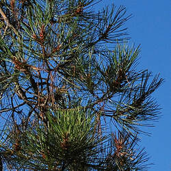 Pinus attenuata Knobcone Pine seed for sale