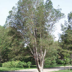 Pinus bungeana Lace Bark Pine, Bunge's Pine seed for sale