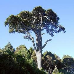 Pinus canariensis Canary Pine, Canary Island Pine seed for sale