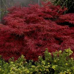 ACER palmatum matsumurae  Atropurpureum dissectum  dry seed Red Lace-leaf Japanese Maple seed for sale