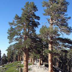 Pinus contorta  murrayana Lodgepole Pine seed for sale