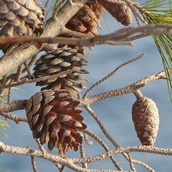 Pinus contorta     Cones Shore Pine Cones seed for sale