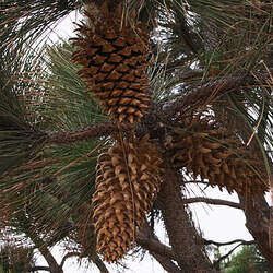 Pinus coulteri Coulter's Pine, Coulter Pine seed for sale