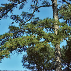 Pinus echinata     Improved Improved Shortleaf Pine seed for sale