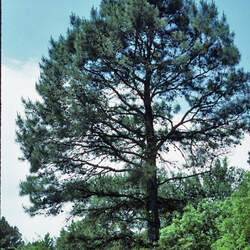 Pinus echinata     Advanced Advanced Shortleaf Pine seed for sale
