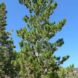 Pinus flexilis Limber Pine, Rocky Mountain White Pine seed for sale