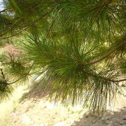Pinus greggii Gregg's Pine seed for sale