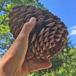 Pinus jeffreyi     Cones Jeffery Pine Cones seed for sale