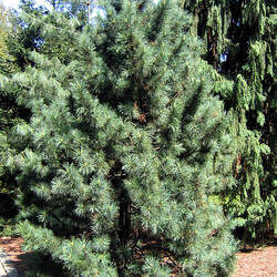 Pinus koraiensis Korean Pine, Chinese Pinenut seed for sale