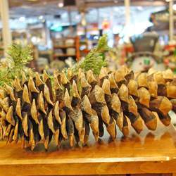 Pinus lambertiana     Cones Sugar Pine Cones- Regular seed for sale