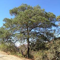 Pinus lawsonii Lawson's Pine seed for sale