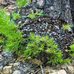 Pinus leiophylla Chihuahuan Pine seed for sale