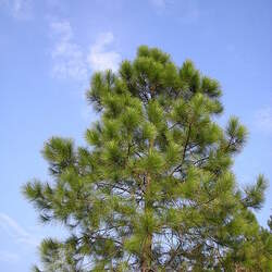 Pinus massoniana Chinese Red Pine, Masson's Pine seed for sale