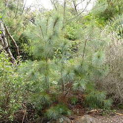 Pinus maximartinezii Maxipinon, Big-cone Pinyon, Martinez Pinyon seed for sale