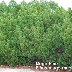 Pinus mugo  mughus Mugo Pine, Mugo Pine Tree, Mountain Pine seed for sale