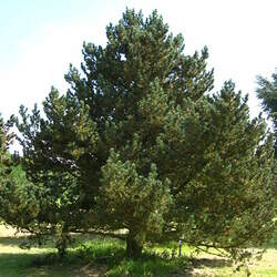Pinus mugo  rostrata Mugo Pine Tree, Mountain Pine seed for sale