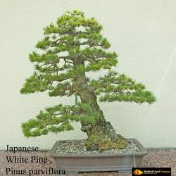 Pinus parviflora Japanese White Pine, Five-needle Pine, Japanese Five Needle Pine seed for sale