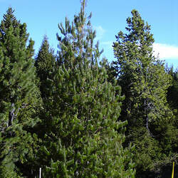 Pinus patula Mexican Weeping Pine, Mexican Yellow Pine, patula pine, spreading-leaved pine seed for sale